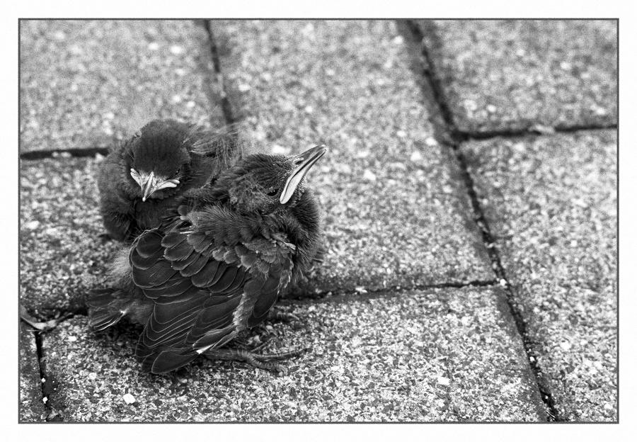 Aus-dem-Nest-gefallen2_SW Tmax 100